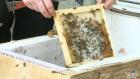 Beekeeping buzzing in Regina