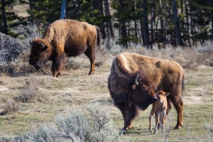 Bison in Yellowstone National Park (Source: Facebook/Yellowstone National Park)