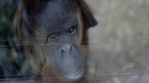 Sandra the orangutan sits in her enclosure at an eco-park, formerly the Palermo zoo, in Buenos Aires, Argentina on Sept. 13, 2016. (AP / Natacha Pisarenko)