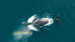 A team from the University of British Columbia travelled to the Eastern Canadian Arctic for an in-depth study of the elusive bowhead whale, considered the longest-living marine animal in the world. Using drone technology, researchers captured footage of the whales during their summer feeding period in Cumberland Sound, Nunavut. The rare aerial images and video provide a safe glimpse into the underwater behaviour, feeding and social activities of the whales without disturbing their natural habitat. (Photos courtesy LGL Limited, UBC, VDOS Global, Fisheries and Oceans Canada and WWF-Canada)