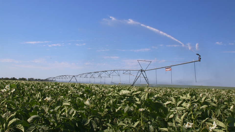 Irrigation pivot potatoes