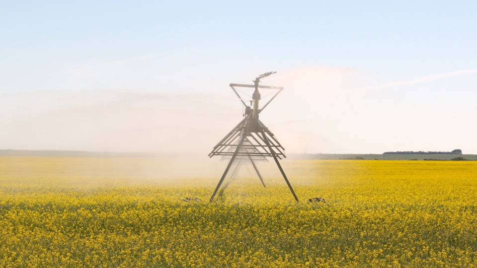 Irrigation pivot canola